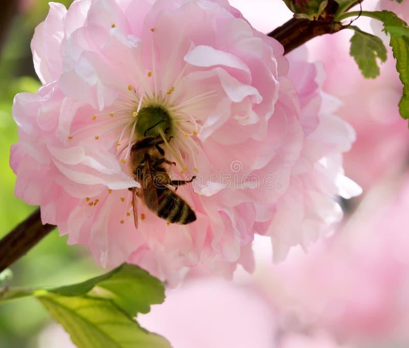 Blütenmandelblume mit Biene lizenzfreies stockbild