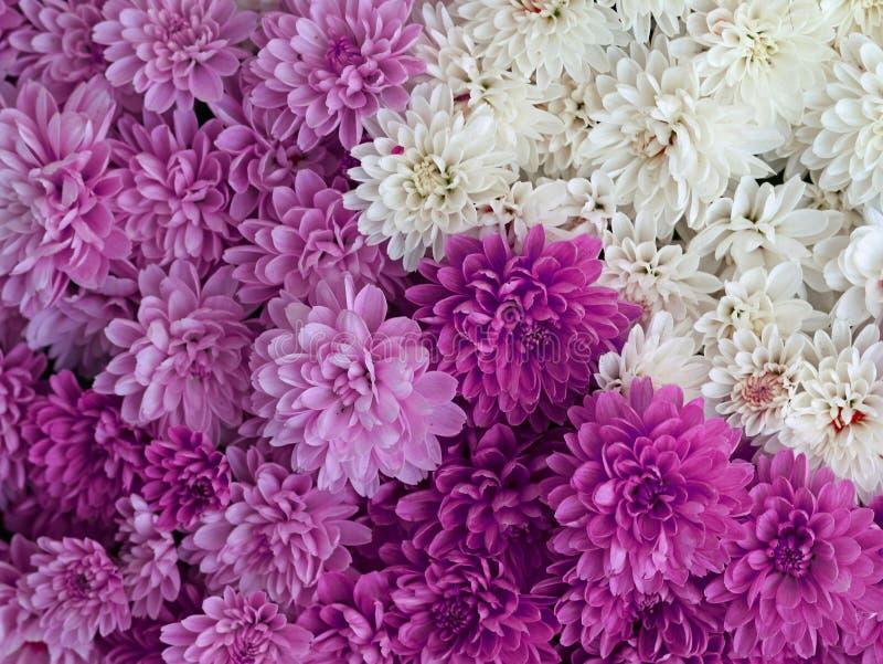 Blütenmischung, weiß, purpurrot, Rosa, bunte Dahlienblumen als Hintergrund stockbilder
