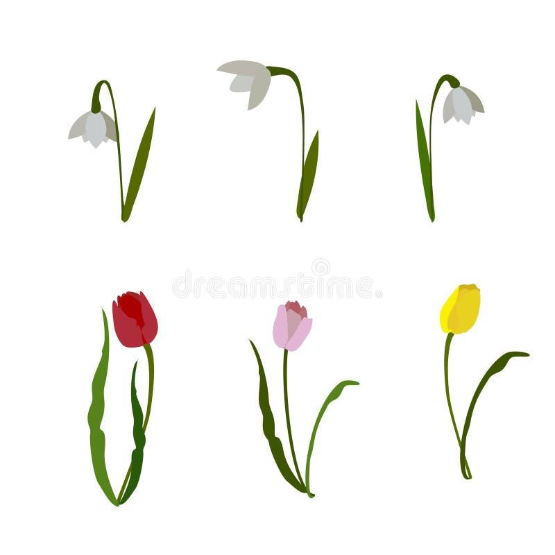 Blütensatz Frühlingsblumen Schneeglöckchen und tultie auf weißem Hintergrund lizenzfreie abbildung