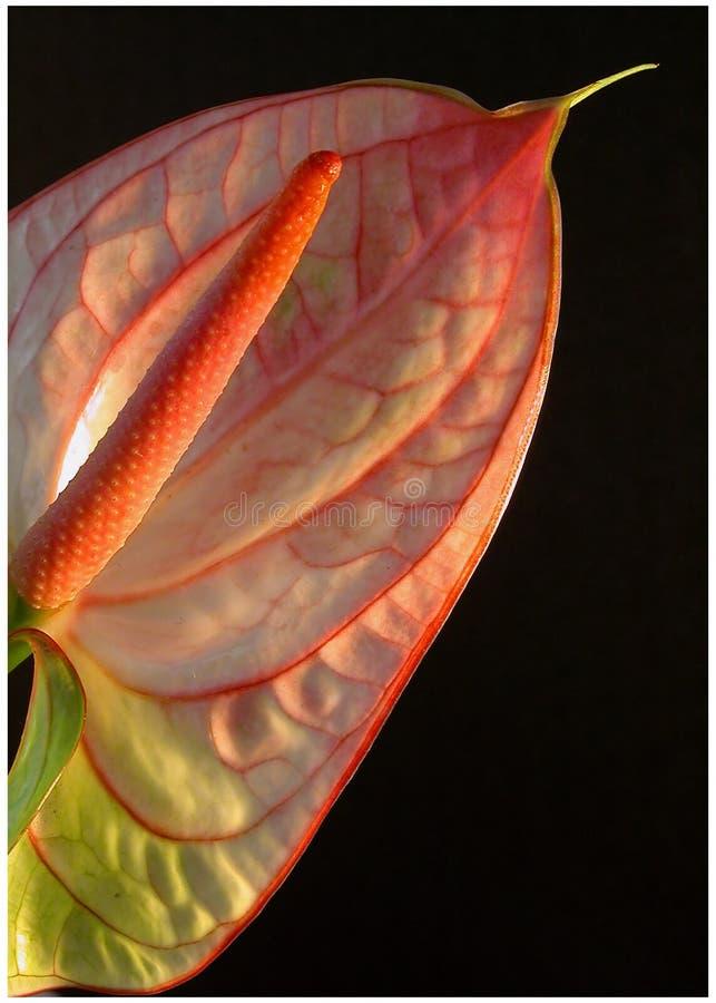 Download Blütenschweif stockfoto. Bild von pink, grün, blumenblatt - 39840