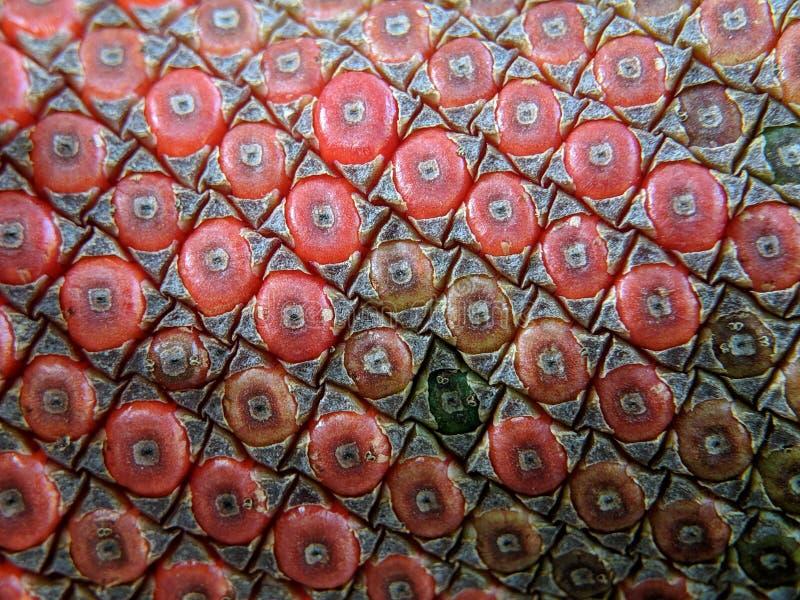 Blütenschweif plowmanii oder rote Samen des Blütenschweifs lizenzfreies stockbild