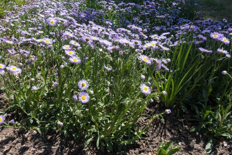 Blütenstände von Espe fleabane im Garten lizenzfreie stockfotografie