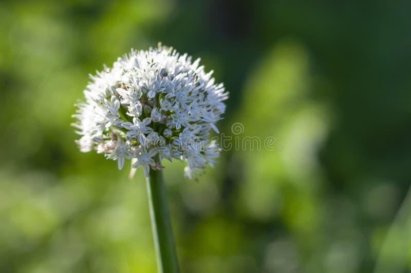 Blütenstand der Zwiebel, Nahaufnahme stockfotos