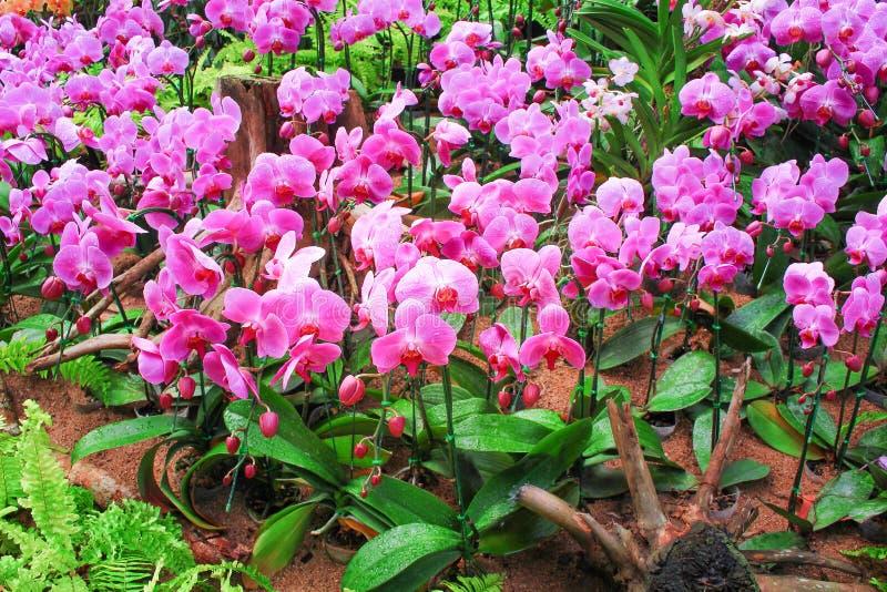 Blütenstand lässt süße bunte rosa Phalaenopsisorchideen mit Wasser das große Gruppenblühen und grünen Stamm, Blätter, Natur falle lizenzfreie stockfotografie
