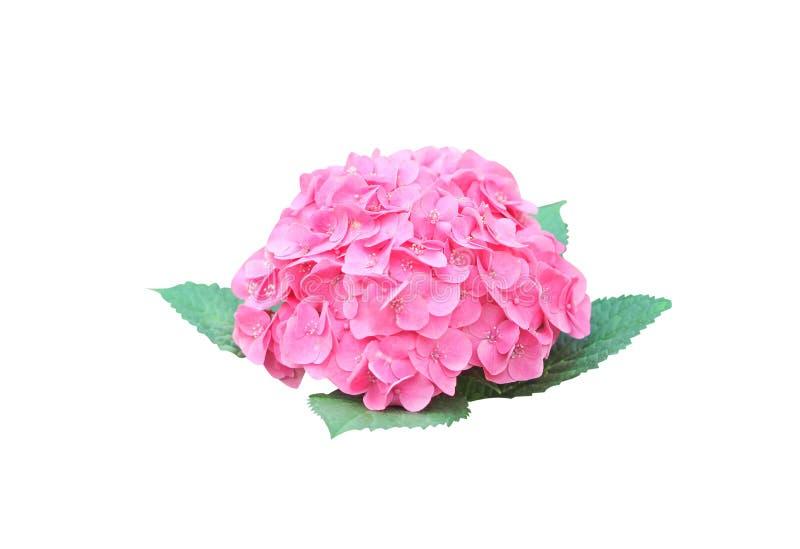 Blütenstand rosa Hortensieblumen Blooomings lokalisiert auf weißem Hintergrund mit Beschneidungspfad lizenzfreie stockfotografie
