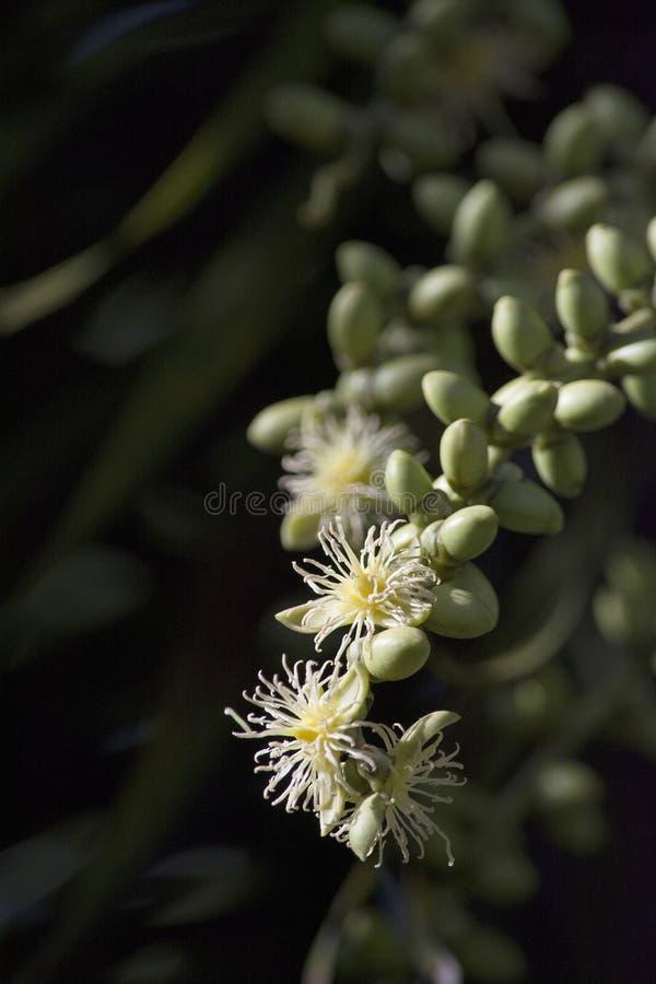 Blütenstand von cremefarbenen Fuchsschwanz-Palmen-Blumen in Florida stockfotografie