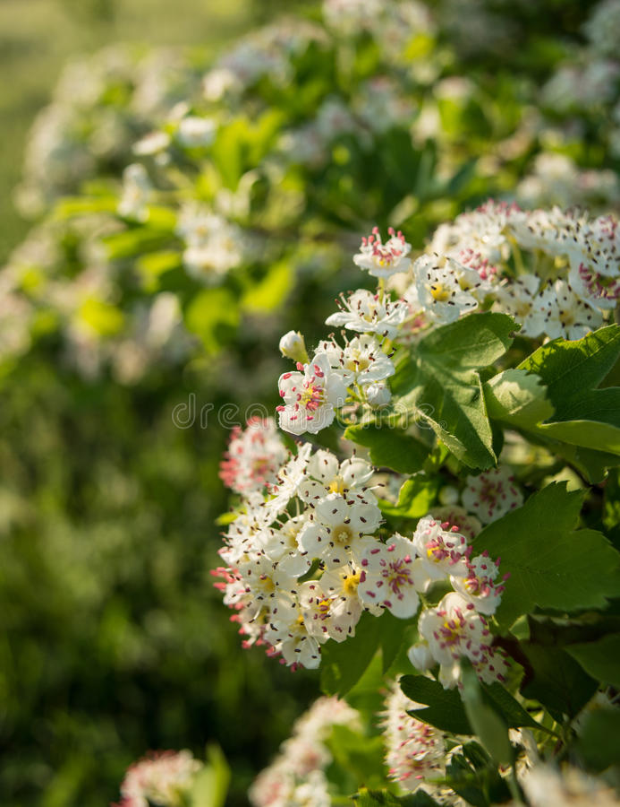 Blütenstand von Weißdornblumen lizenzfreie stockfotos