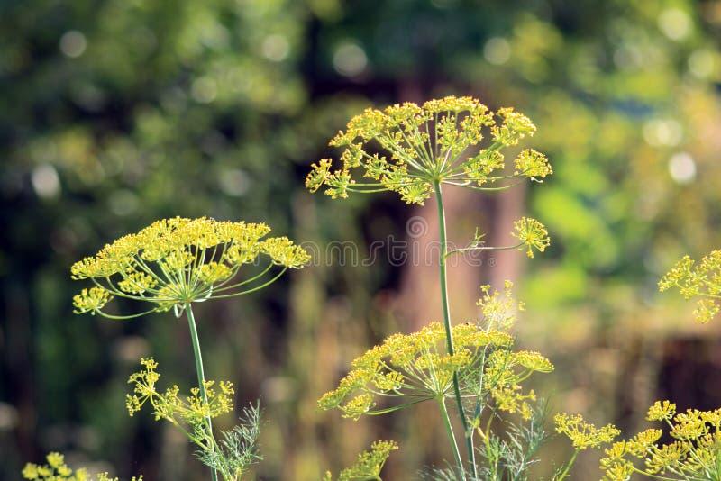 Blütenstanddill lizenzfreie stockfotos