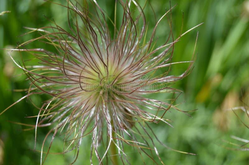 Blütenstandschlafgras nachdem dem Blühen lizenzfreies stockfoto
