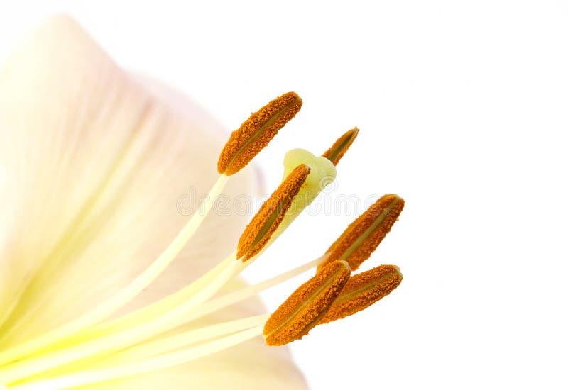 Download Blütenstaub Auf Lilienstaubgefässen Stockbild - Bild von staubgefäß, nahaufnahme: 26363829