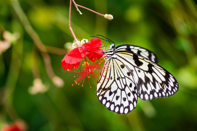 Blütenstaub bedeckte Schwarzweiss-Schmetterling auf roter Blume lizenzfreie stockbilder