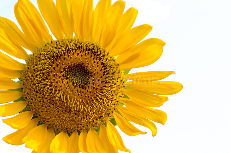 Blütenstaub der Sonnenblume lizenzfreies stockfoto