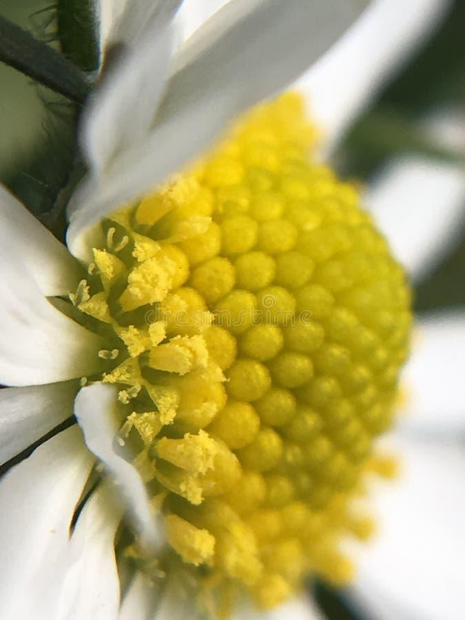 Blütenstaub eines Sommer-Gänseblümchens stockfotografie