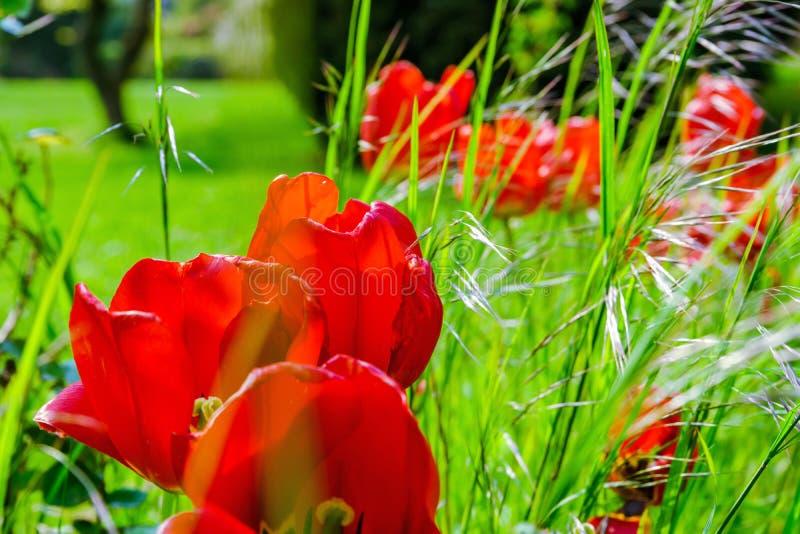 Blütentulpen im Garten, Frühlingszeit lizenzfreie stockbilder