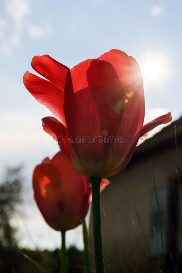 Blütentulpen im Garten, Frühlingszeit stockbilder