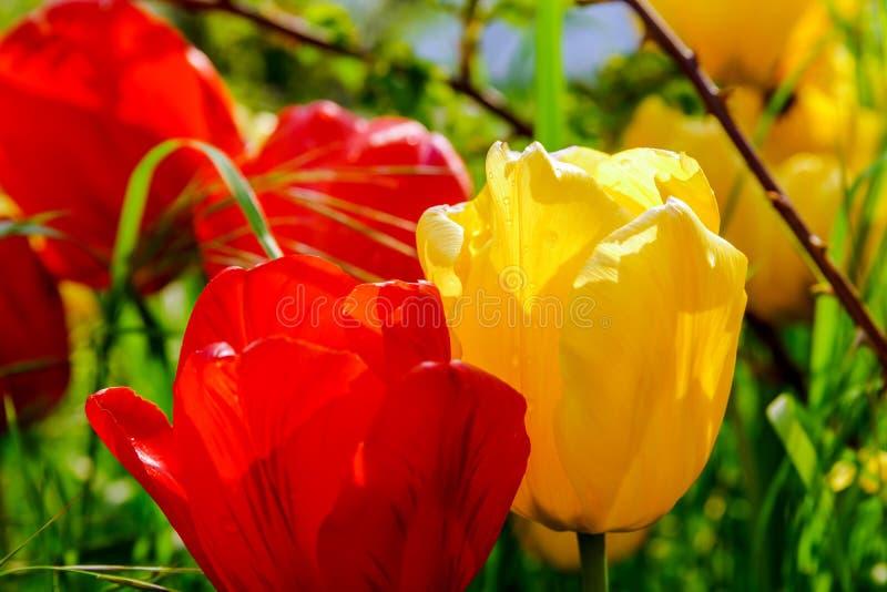 Blütentulpen im Garten, Frühlingszeit stockbild