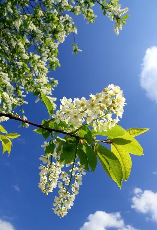Blütenvogel-Kirschbaumzweig stockbild