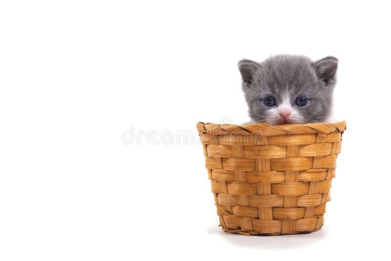 Bl? bicolor brittisk kattunge som sitter p? en vit bakgrund i en vide- korg Ställe för inskrift på vänstersidan arkivbild