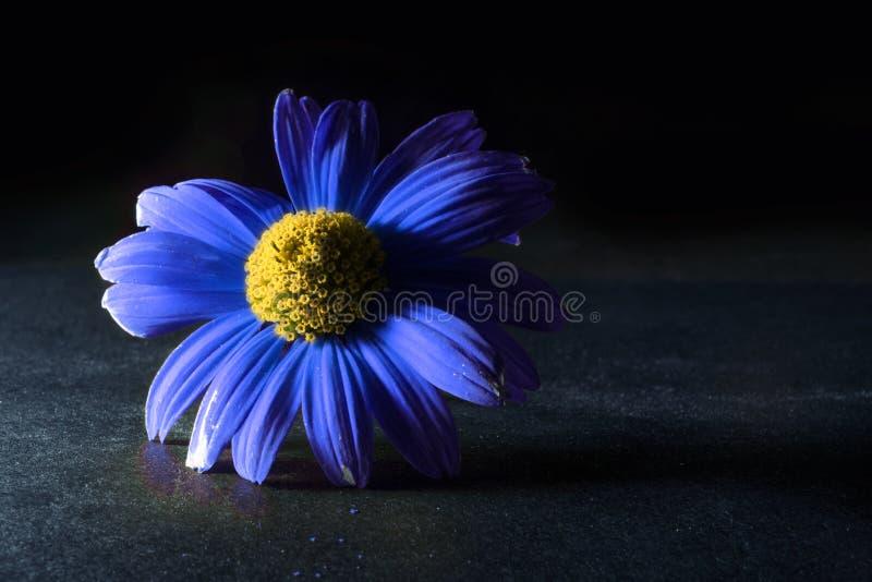 Bl? blomma p? svart bakgrund Backlit blomma makroblommanatt royaltyfria bilder