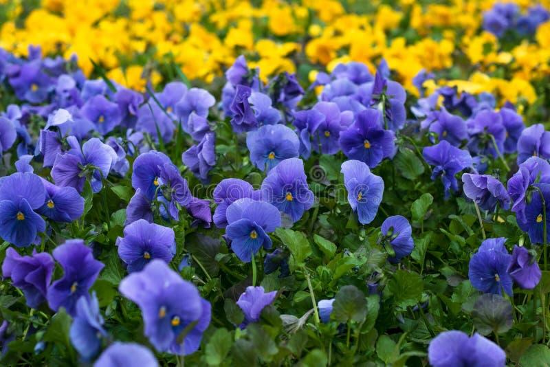bl? blommatr?dg?rd Fält av violetta pansies Heartsease pensébakgrund yellow f?r modell f?r hj?rta f?r blommor f?r fj?rilsdroppe b arkivbild