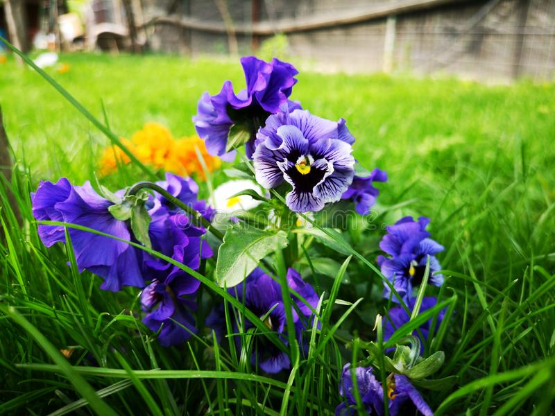Bl?a blommor och gr?nt gr?s royaltyfri bild
