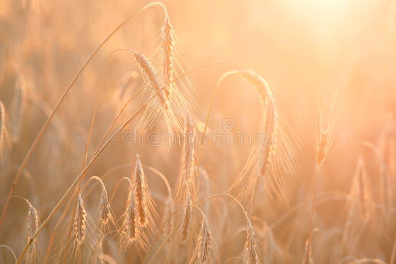Bl? de maturation de champ au coucher du soleil Agriculture et r?colte images libres de droits