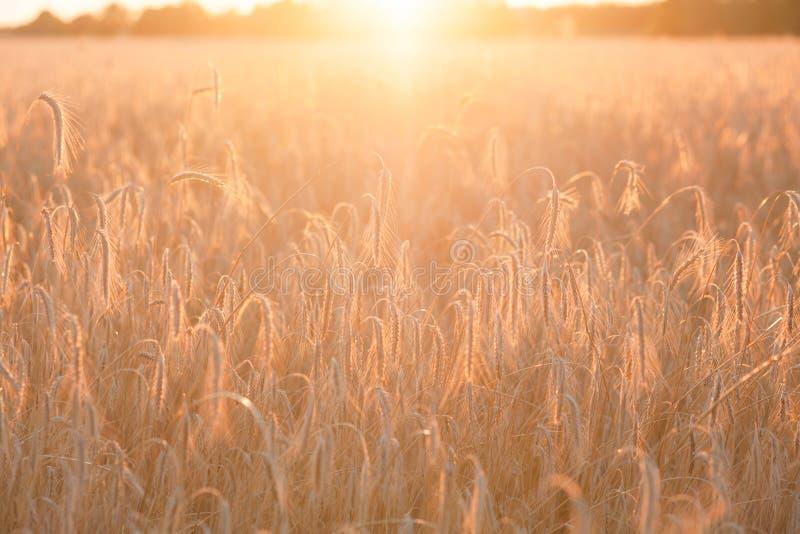 Bl? de maturation de champ au coucher du soleil Agriculture et r?colte photos libres de droits