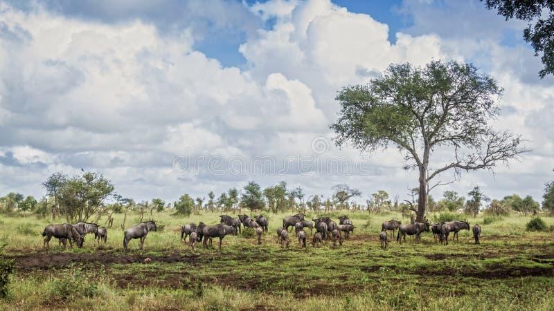 Bl? gnu i den Kruger nationalparken, Sydafrika royaltyfri bild