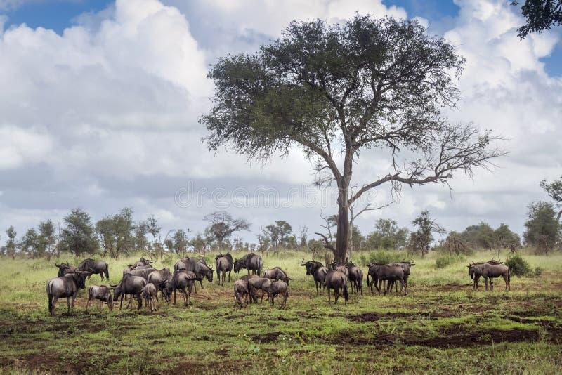 Bl? gnu i den Kruger nationalparken, Sydafrika royaltyfria foton