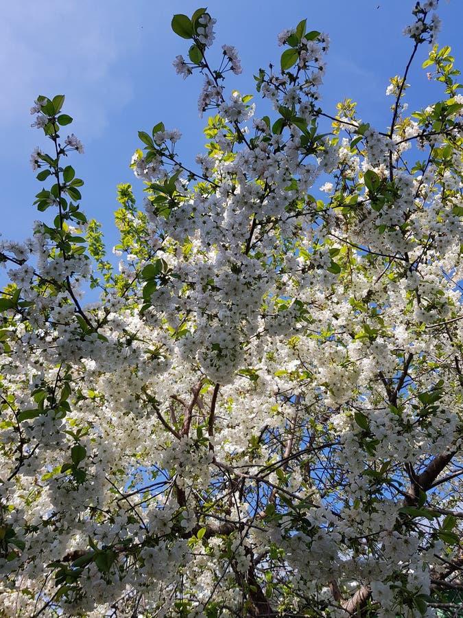 Bl?hende Apfelbaumaste Wei?e Blumen gegen den hellen blauen Himmel und das Sonnenlicht Ist ein gr?nes Feld voll der Weizenanlagen stockfoto