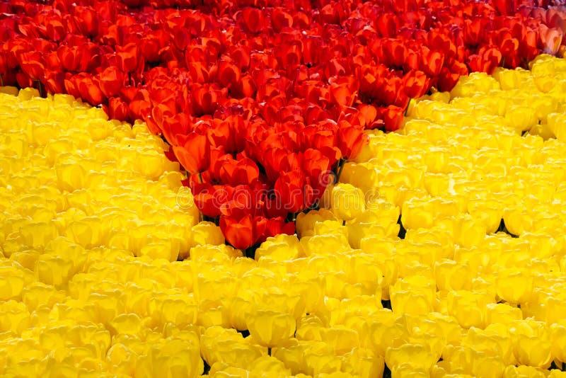 Bl?hende bunte Tulpenblumen als Blumenhintergrund stockbilder