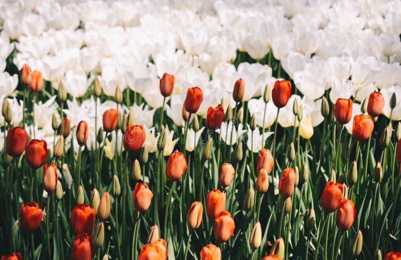 Bl?hende bunte Tulpenblumen als Blumenhintergrund stockfotos