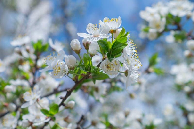 Bl?hende Kirschen im Fr?hjahr Blumen der Kirsche vor dem hintergrund des blauen Fr?hlingshimmels Wei?e Blumen, die auf Niederlass lizenzfreie stockfotografie
