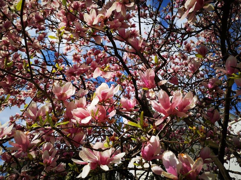 Blühende Magnolie - im Sonnenlicht vom Frühling lizenzfreies stockfoto