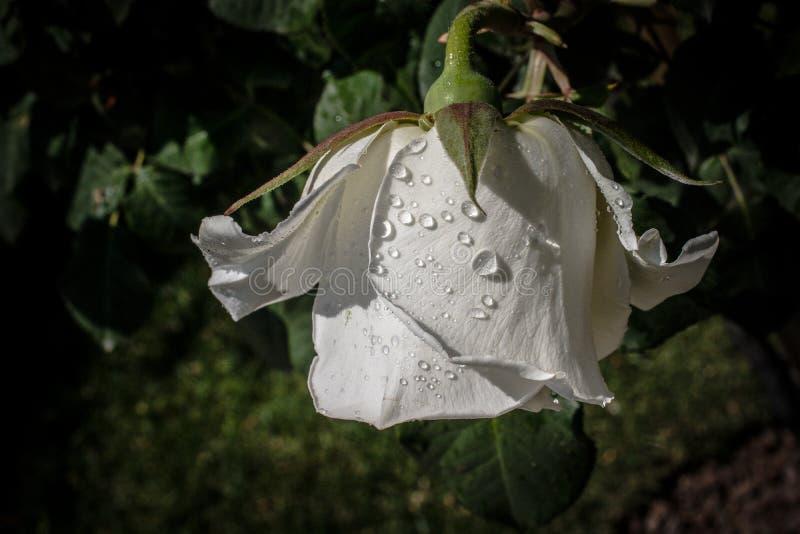 Bl?hende sch?ne bunte Rose knospen im Blumenhintergrund stockfotografie