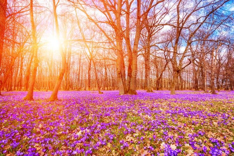 Bl?hende Wiese mit einem purpurroten Krokus oder Safranblumen im Sonnenlicht gegen einen Eichenwaldhintergrund, ?berraschende son stockfotografie
