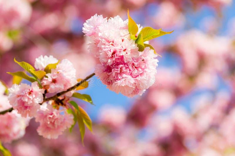 Bl?hender Kirschbaum mit empfindlichen Terry-Blumen Rosa bl?hende Niederlassungen japanischen Kirscheprunus serrulata Kanzan stockbild