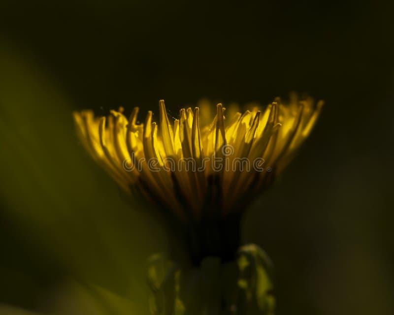 Bl?hender L?wenzahn Gelbe L?wenzahnblume Gelbe Blumen, Basisrecheneinheit, Inneres mit Tropfen Schlie?en Sie herauf Blumenhinterg stockfoto