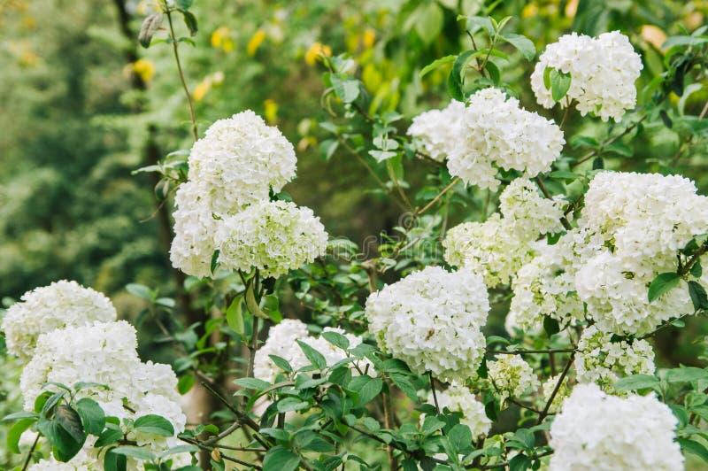 Bl?hendes Geb?sch des Fr?hlinges dekorativ, runde wei?e Blumen lizenzfreies stockbild