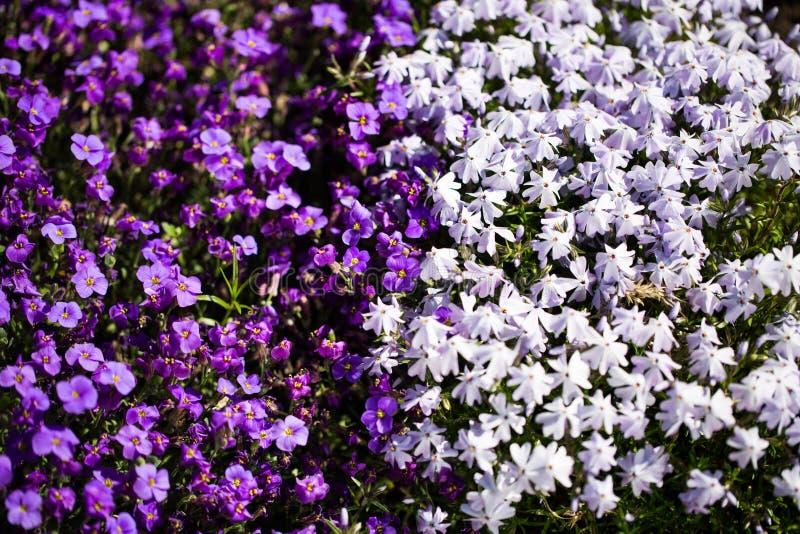 Bl? lobelia i blomsterrabatten royaltyfria bilder