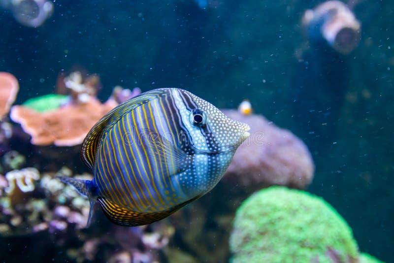 Bl? Tang Surgeon Fish - Paracanthurus hepatus Underbar och h?rlig undervattens- v?rld med koraller och den tropiska fisken royaltyfri bild