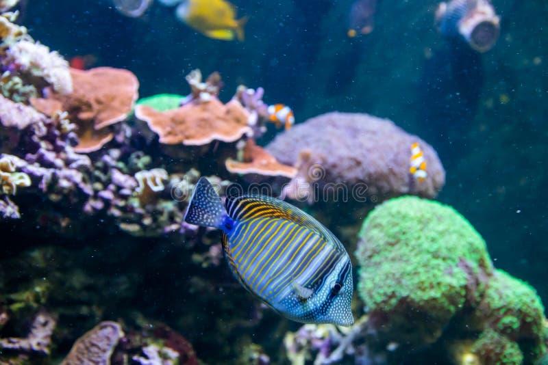 Bl? Tang Surgeon Fish - Paracanthurus hepatus Underbar och h?rlig undervattens- v?rld med koraller och den tropiska fisken royaltyfri foto