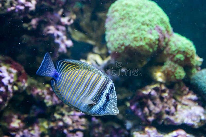 Bl? Tang Surgeon Fish - Paracanthurus hepatus Underbar och h?rlig undervattens- v?rld med koraller och den tropiska fisken arkivbilder