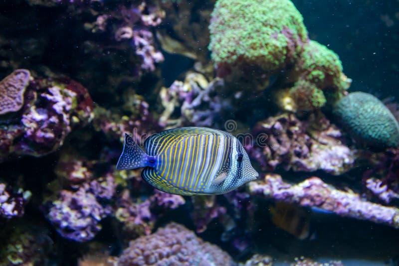 Bl? Tang Surgeon Fish - Paracanthurus hepatus Underbar och h?rlig undervattens- v?rld med koraller och den tropiska fisken arkivfoto