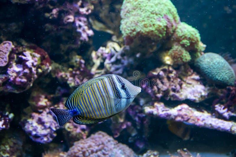 Bl? Tang Surgeon Fish - Paracanthurus hepatus Underbar och h?rlig undervattens- v?rld med koraller och den tropiska fisken arkivfoton