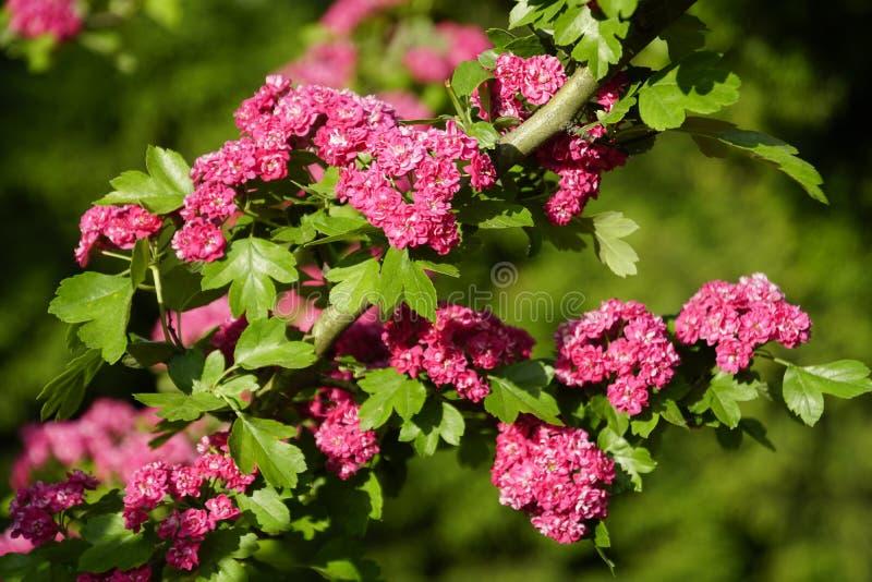 Bl?tenpflanzen im Fr?hjahr may Wei?dorn blutrot Helle Farben und Farben der Natur Viele Blumen stockfoto