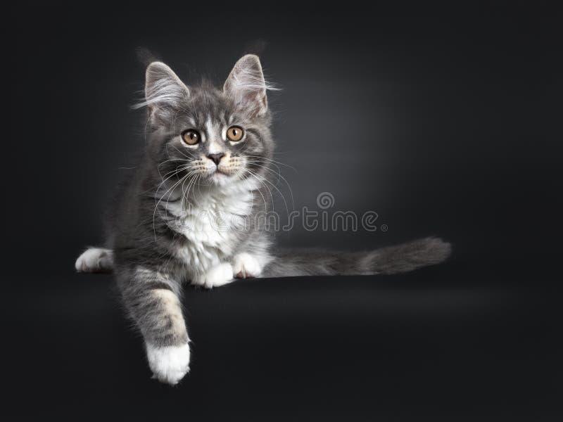 Bl?tt med den vita Maine Coon katten p? svart royaltyfria bilder