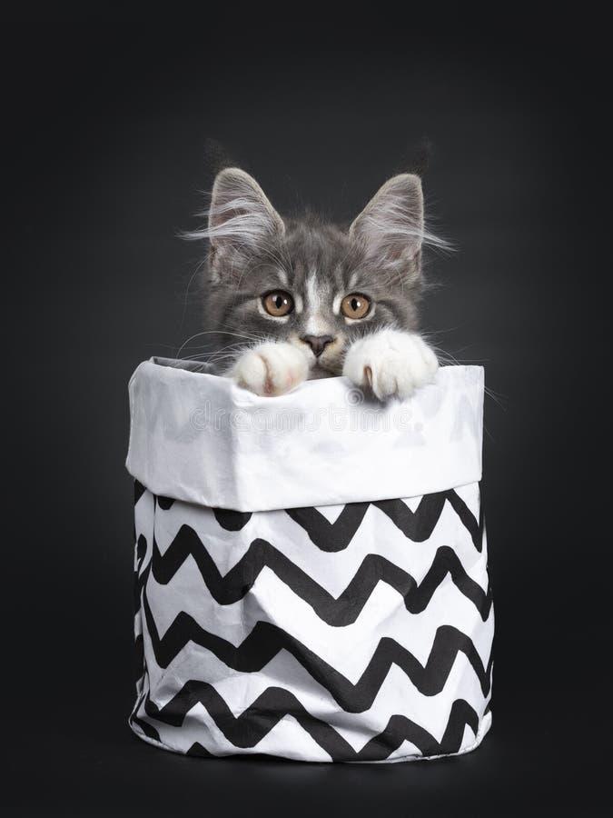 Bl?tt med den vita Maine Coon katten p? svart royaltyfri fotografi