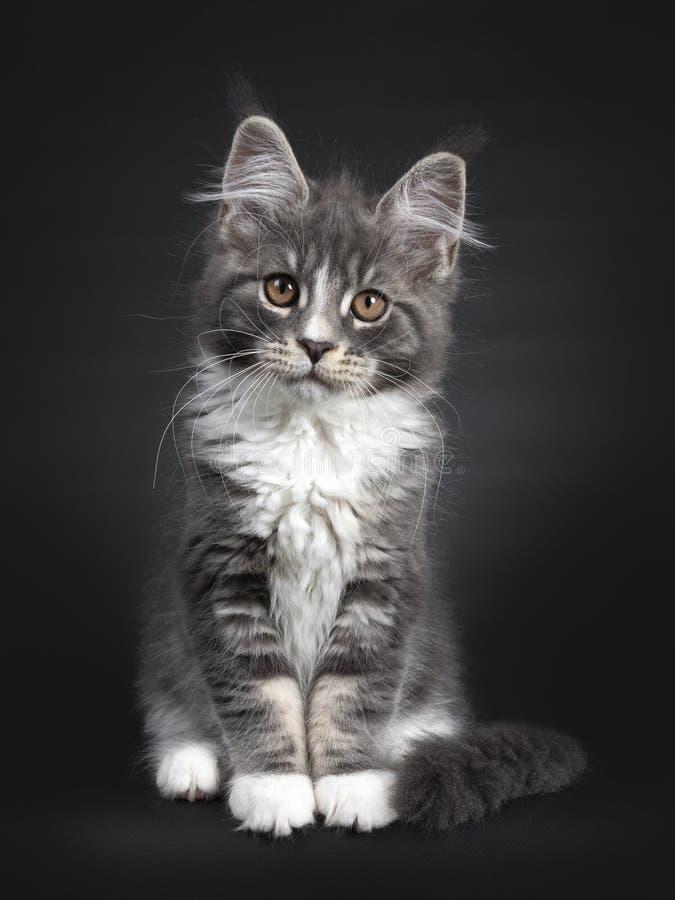 Bl?tt med den vita Maine Coon katten p? svart royaltyfri bild