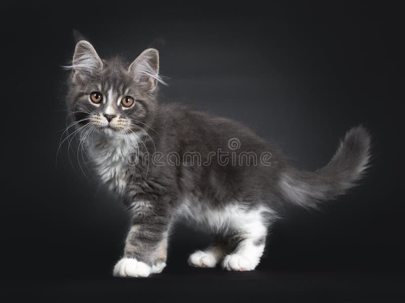 Bl?tt med den vita Maine Coon katten p? svart royaltyfria foton